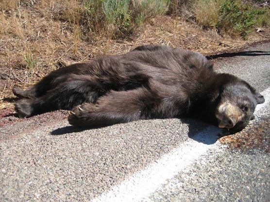 Bracconieri in azione si teme per l 39 orso mario l 39 eco for Affittare una cabina nel grande orso