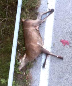 cervo-morto